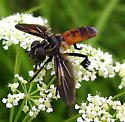 shaggy-legged, orange-abs fly - Trichopoda