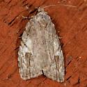 White-blotched Balsa Moth - Balsa labecula