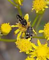 Acmaeodera ornata? - Acmaeodera bowditchi