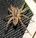 Spider with scarab prey - Tigrosa georgicola