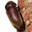 Death Watch Beetle? - Euvrilletta peltata