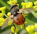 orange fly - Gymnosoma