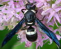 Four-toothed Mason Wasp - Monobia quadridens - female