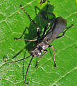 Blue-Black Spider Wasp - Anoplius