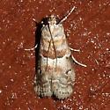 Hodges#5776 - Salebriaria pumilella