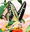 Western Giant Swallowtail? - Papilio rumiko