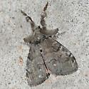 Moth 09.07.10 (1) - Orgyia leucostigma
