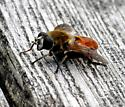 Fly - Polydontomyia curvipes
