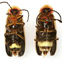 Photinus pyralis (Linnaeus) - Photinus pyralis - female