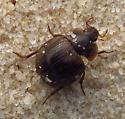 Water scavenger beetle - Sperchopsis tessellata