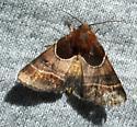 moth 082502 - Schinia arcigera