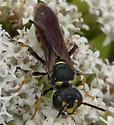 Weevil wasp - Cerceris - female