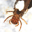 Caddisfly larva - Pycnopsyche guttifera