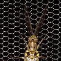 Spring Fishfly (Detail) - Chauliodes rastricornis - male