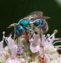 Pure Green Bee..........that looks Blue?  - Augochloropsis metallica