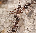 ant fight! - Pheidole obscurithorax
