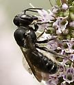 Small bee - Megachile campanulae
