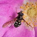 Unknown fly - Megasyrphus laxus