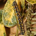 Larva - Uresiphita reversalis