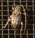 What is this bug? - Ecyrus dasycerus