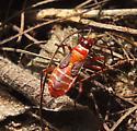 Red Bug - Dysdercus mimulus