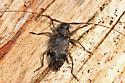 longhorn beetle - Hyperplatys maculata