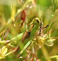Green Grasshopper - Melanoplus bivittatus