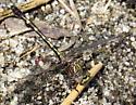 Common Sanddragon - Progomphus obscurus - male