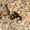 Little Bee lays eggs? - Calliopsis puellae - female