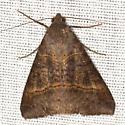 Small Mocis Moth - Hodges #8743 - Mocis latipes - male