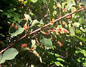 Rosaceae sp. with leaf galls