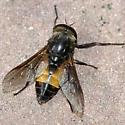 Tabanus probably horsefly - Hybomitra - male