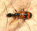 Long-necked Ground Beetle - Colliuris pensylvanica
