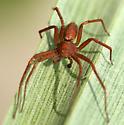male running crab spider - Philodromus rufus - male