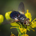 Tachinidae family, ID please? - Archytas lateralis - male