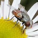 Tachinidae --? - Senotainia