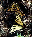 Canada Swallowtail - Papilio canadensis