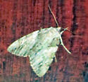 Pale Greenish Moth with Wavy Patterns on a Barn