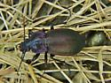 Id help needed - ground beetle - Carabus nemoralis - female