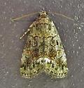 Lithacodia musta - Small Mossy Lithacodia - Hodges#9051 - Lithacodia musta
