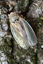 Leafhopper - Exitianus exitiosus