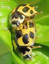 Fourteen-spotted Lady Beetle - Propylea quatuordecimpunctata - male - female