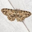 Porcelain Gray Moth - Hodges #6598 - Protoboarmia porcelaria - male