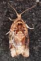 Red-banded Leafroller - Argyrotaenia velutinana