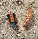 Interesting Insect - Melittia cucurbitae
