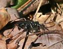 Wasp ID Request - Priocnemis minorata - female