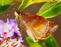 Clouded skipper - Lerema accius - female