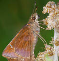 butterflies - Lerema accius - male - female