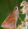 butterflies - Lerema accius - male - female