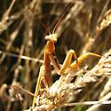 unknown mantid - Mantis religiosa